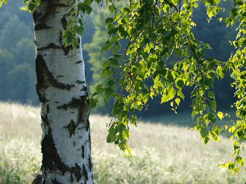 summer tree green landscape leaf dof bokeh country olympus birch björk träd sommar landskap löv grönt e520 zuiko70300mm olympuse520 kinnahult peternyhlén