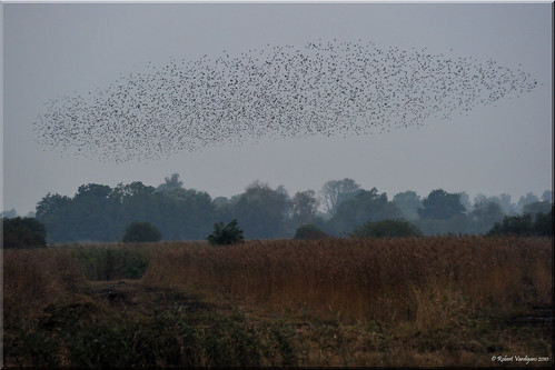 Strumpshaw Starling Swarm