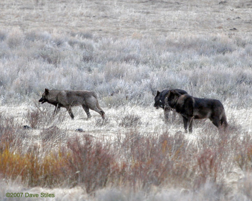 WOLF PUPPIES FOR SALE | WOLF PUPPIES FOR SALE