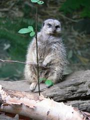 A meercat at Portland zoo