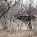 Namibia - Etosha National Park by Michele Sartori