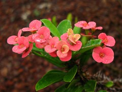 Crown-of-thorns / Euphorbia milii / 花麒麟(ハナキリン)