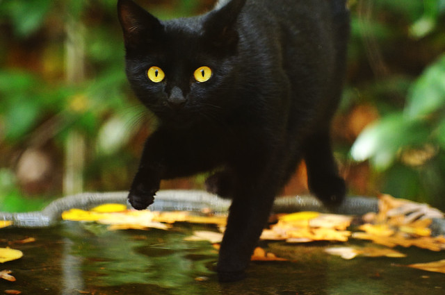 Black Cat in Birdbath