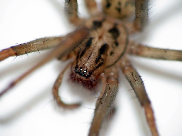 Common House Spider Flickr Photo Sharing