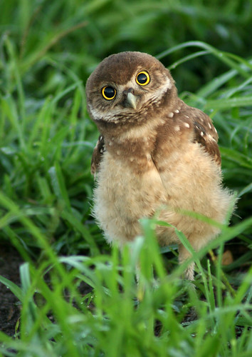 Baby Birdorable: Burrowing Owl in Baby Birds, Owls