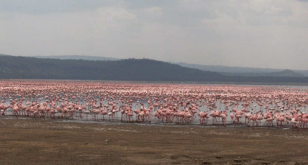 Flamingos no Lago Nakuru