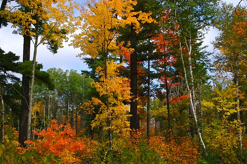 Virgin White Pine and Fall Color