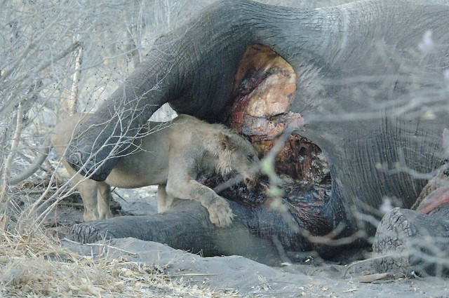 Compare African Lion vs Grizzly Bear