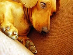 puppy(0.0), nose(1.0), animal(1.0), dog(1.0), yellow(1.0), skin(1.0), pet(1.0), mammal(1.0), close-up(1.0), vizsla(1.0),