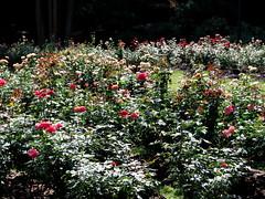 Rose Garden, Raleigh NC 6748