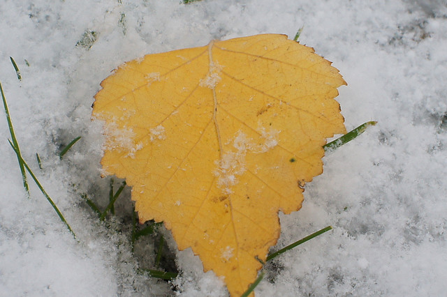Yellow Leaf on Fresh Snow
