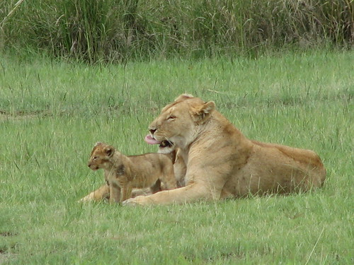 Lion and cub (Ngorongoro)