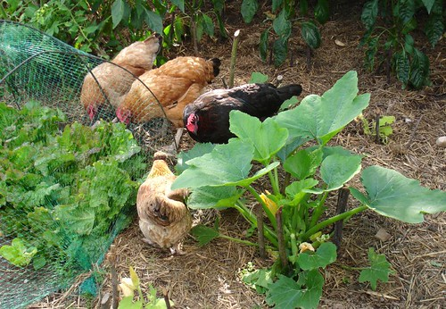 The chickens helping themselves to Lettuce - if it wasn't covered it would be gone!
