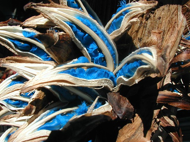 Brilliant lapis lazuli Travelers Palm seeds | Flickr ...