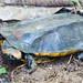 Amazon Turtle