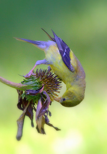Bird with Cornflower