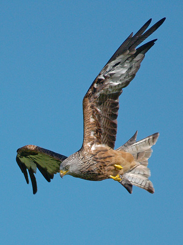 red station birds wales feeding kites birdofprey rhayader gigrinfarm