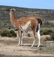 arabian camel(0.0), animal(1.0), prairie(1.0), mammal(1.0), llama(1.0), fauna(1.0), vicuã±a(1.0), guanaco(1.0), wildlife(1.0),