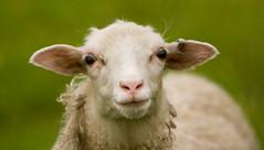 animal, sheeps, sheep, mammal, fauna, close-up, grassland,