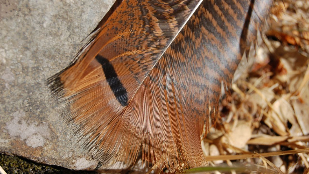 Wild Turkey Feather Wild turkey feather