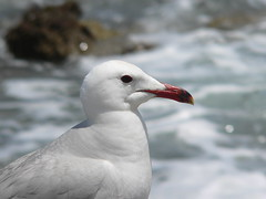 albatross(0.0), cinclidae(0.0), great black-backed gull(0.0), animal(1.0), charadriiformes(1.0), fauna(1.0), close-up(1.0), european herring gull(1.0), beak(1.0), bird(1.0), seabird(1.0), wildlife(1.0),