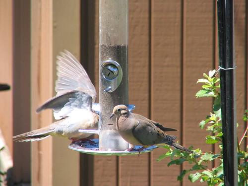 thistle bird seed