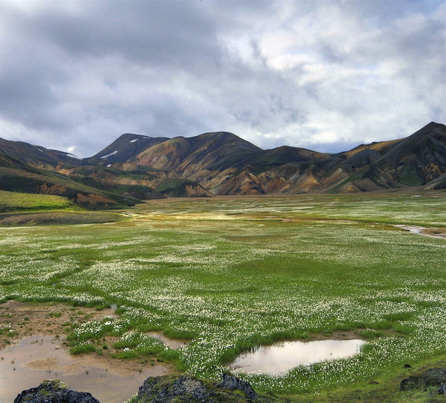 Cotton grass in Landmannalaugar