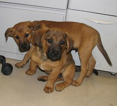 dog breed, animal, hound, broholmer, dog, tosa, pet, black mouth cur, carnivoran, rhodesian ridgeback,