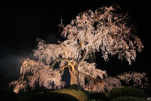 1-34圓山公園的枝垂櫻