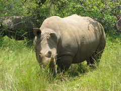 animal, grazing, rhinoceros, fauna, pasture, safari, wildlife,