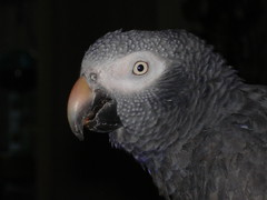wing(0.0), parakeet(0.0), animal(1.0), parrot(1.0), fauna(1.0), close-up(1.0), beak(1.0), african grey(1.0), bird(1.0), wildlife(1.0),