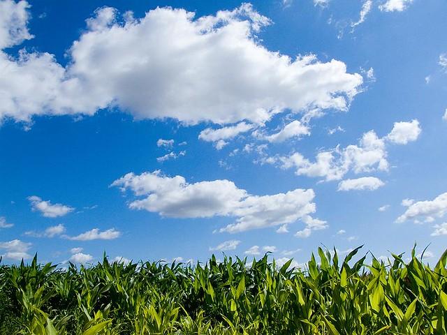 sky and corn  grange farm  abbots ripton  huntingdon  the