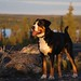 Greater Swiss Mountain Dog by K. Rattray