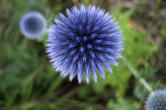 flower, thistle, nature, macro photography, wildflower, flora, close-up,