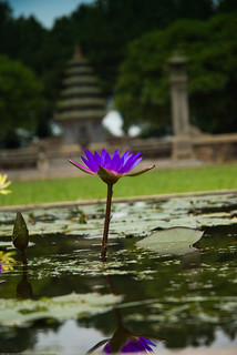 A lotus flower at Thien Mu Pagoda in Hue, central Vietnam