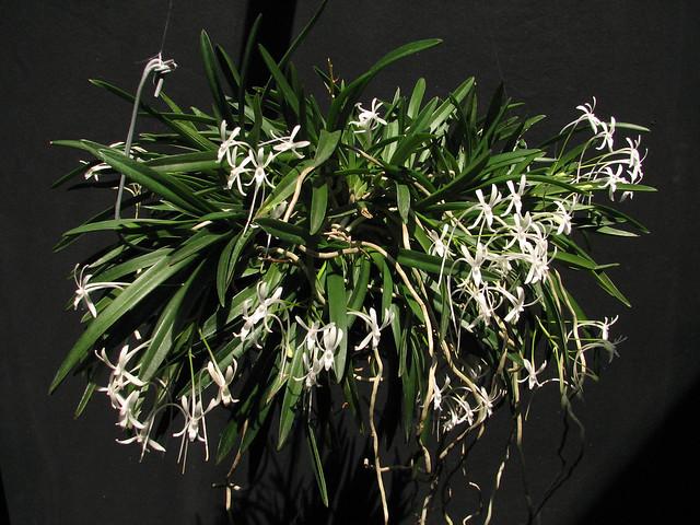 Neofinetia falcata 'Amami Island White'