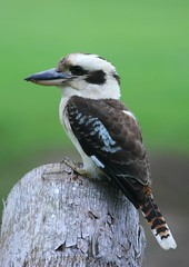 Laughing Kookaburra - Photo (c) Michael Dawes, some rights reserved (CC BY-NC)