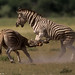Burchell's Zebra jockey for an advantage in a dominance fight