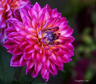 The Magnificent Dahlia