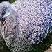 Grey Peacock Pheasant by P. Stubbs photo