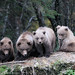 4 grizzly bear cubs, Katmai National Park, Alaska. by Skolai-Images