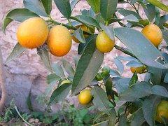 evergreen, calamondin, citrus, branch, meyer lemon, kumquat, yuzu, fruit, tangelo, bitter orange, mandarin orange,