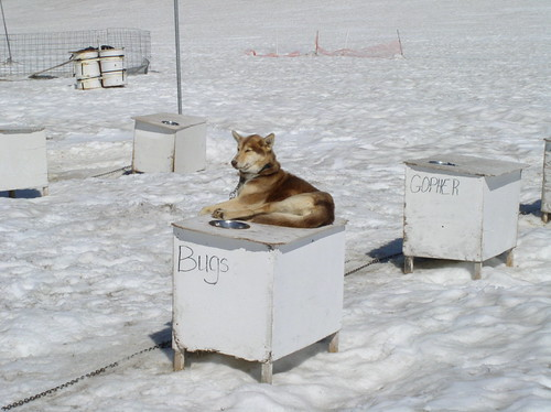 943696227 81a689727c Nice Sled Dog photos
