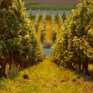 Vineyards_roads_field