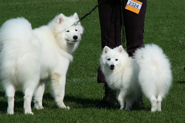 Evolution Two Breeds Samoyed And Japanese Spitz By