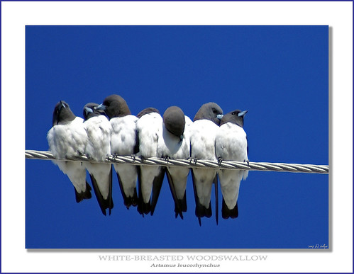 Seven Swallows Sitting