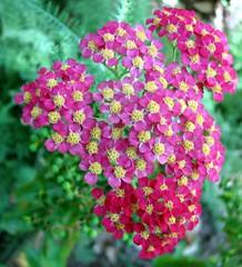 yarrow, annual plant, flower, plant, wildflower, flora,
