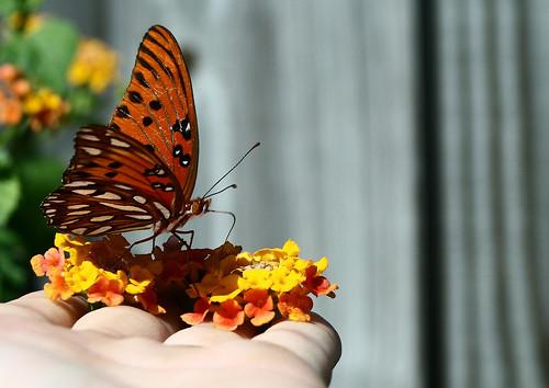 life orange white black green nature beautiful butterfly insect hand bokeh fingers lantana gulffritillary