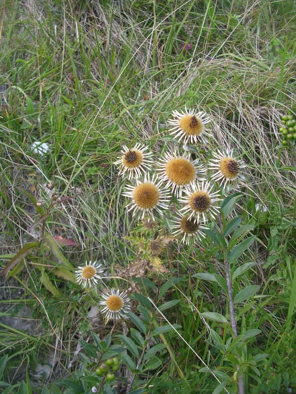 Deadheads Carline thistle in early stage of deadness? Amberley to Lancing