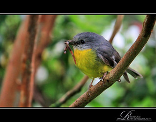 Eastern Yellow Robin Feeding